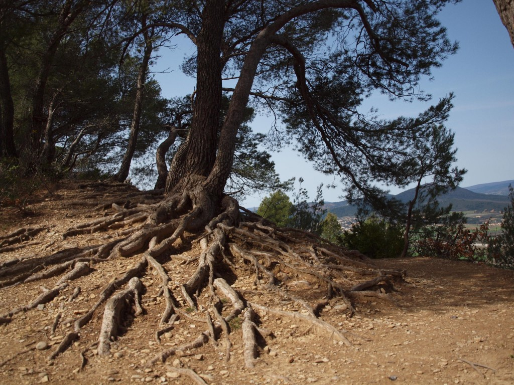 Racines d'arbre sur le chemin Colline Jean Giono