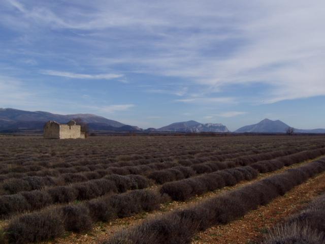 Paysage de lavande et montagne en fond Colline Jean Giono