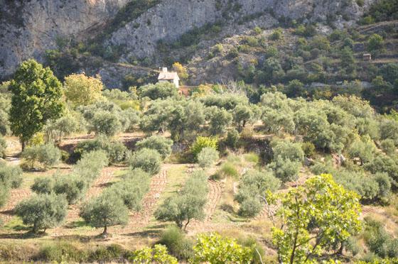 Champ d'oliviers dans les Alpes de Haute-Provence