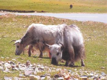 Yacks au Tibet Dans les pas d'Alexandra David-Néel